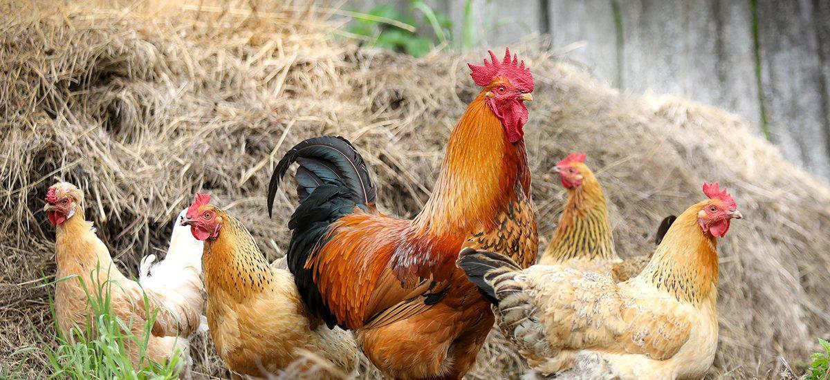 Komunikat Głównego Lekarza Weterynarii o ryzyku wystąpienia w Polsce wysoce zjadliwej grypy ptaków (HPAI) w sezonie jesienno-zimowym 2020/2021